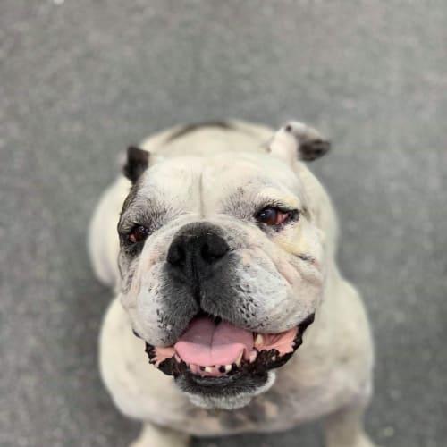 Missy - Australian Bulldog