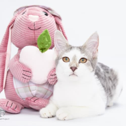 Cotton Tail - Domestic Short Hair Cat