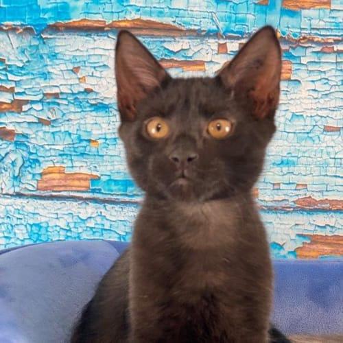 Cole - Domestic Short Hair Cat