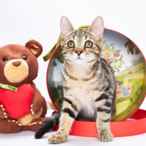Chia - Domestic Short Hair Cat