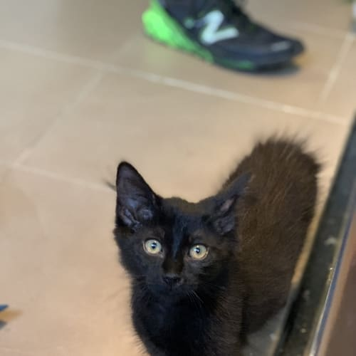 Gizmo - Domestic Short Hair Cat