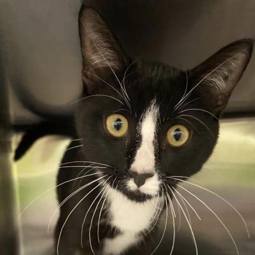 Rajah  - Domestic Short Hair Cat