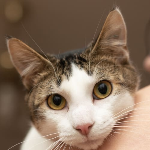 Pashmak - Meet me at Neko HQ in Preston - Domestic Short Hair Cat