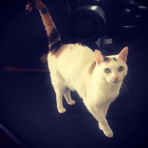 Chicka - Domestic Short Hair Cat