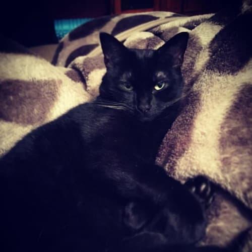Bundy - Domestic Short Hair Cat