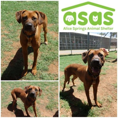 Aura  DG20-056 - Rhodesian Ridgeback x Mixed Breed Dog