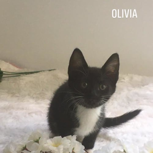 Olivia - Domestic Short Hair Cat