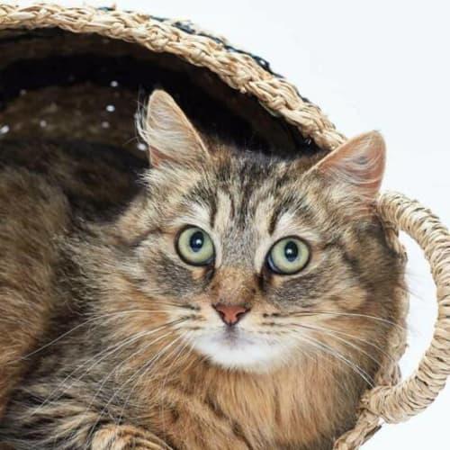 Annie - Domestic Medium Hair Cat