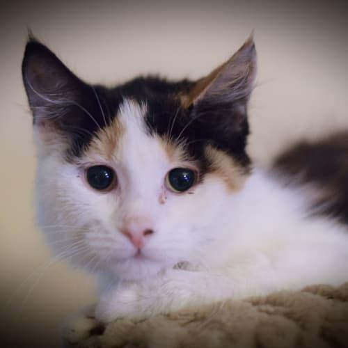 Candy  - Domestic Medium Hair Cat