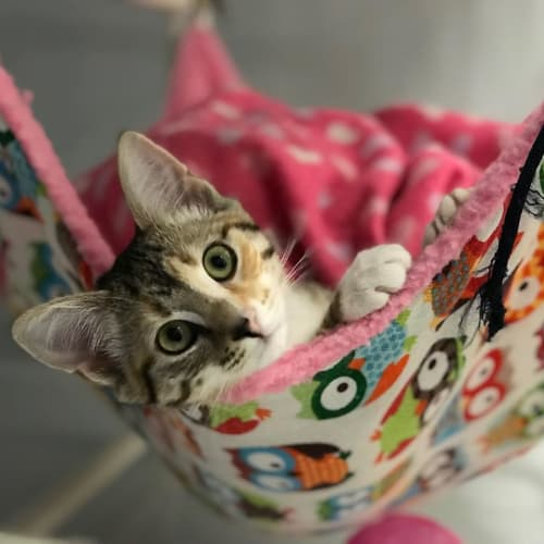 Kora  - Domestic Short Hair Cat