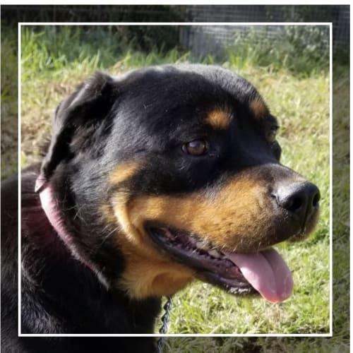 Leia ~ Adorable Girl & Beautiful  - Rottweiler Dog