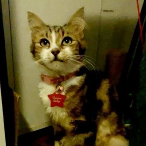 Ariel - Domestic Medium Hair Cat