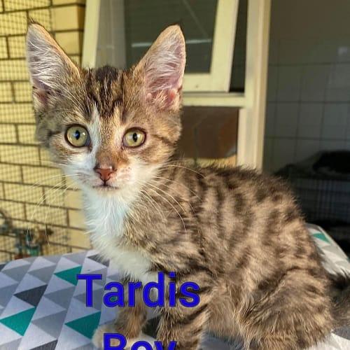 Tardis - Domestic Short Hair Cat