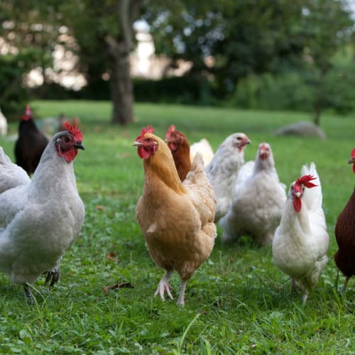 Chooks for Adoption -  Chicken