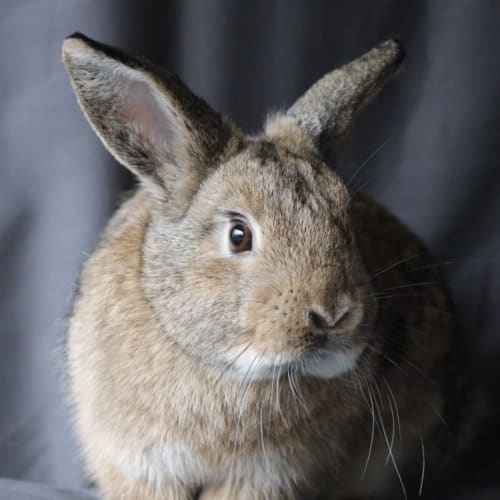 Patsy  - Domestic Rabbit