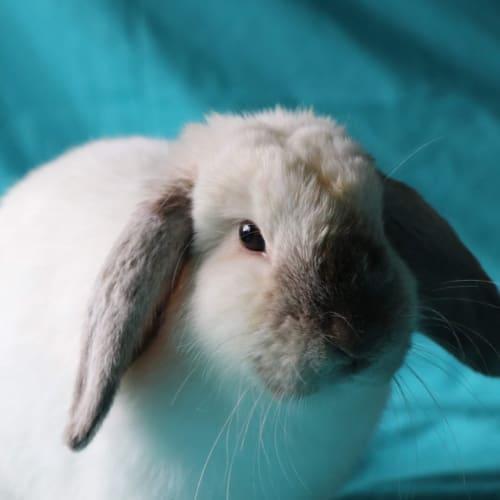 Lauren - Lop Eared Rabbit