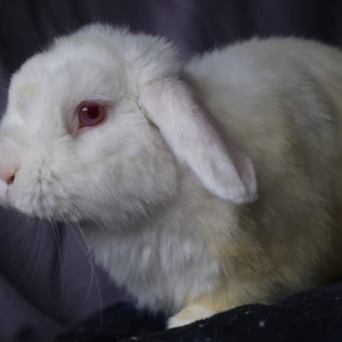 Leo  - Lop Eared Rabbit