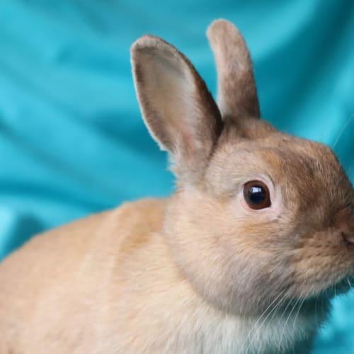 Patience  - Netherland Dwarf Rabbit