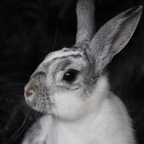 Dom - Domestic Rabbit