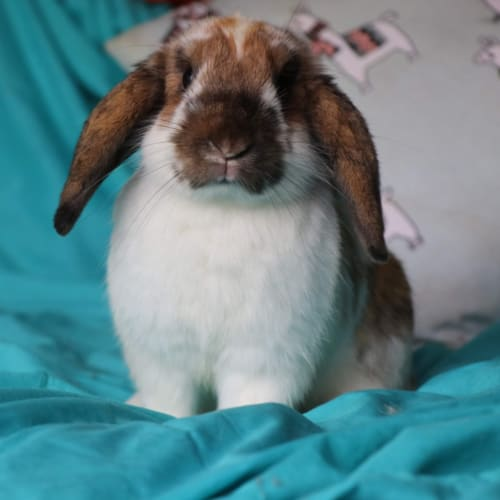Fudge  - Lop Eared Rabbit
