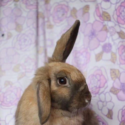 Bonnie  - Lop Eared Rabbit