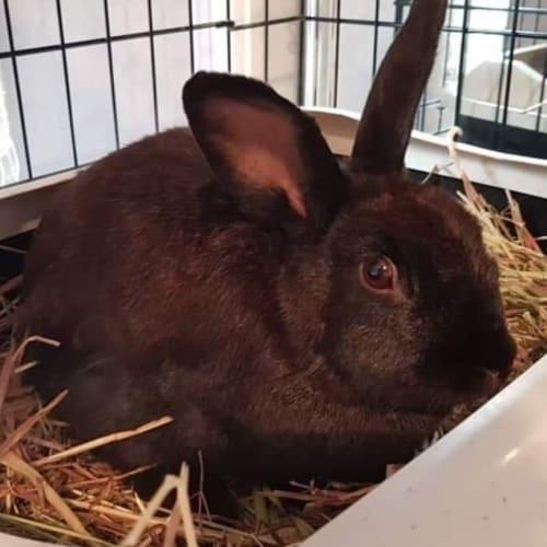 Olive  - Flemish Giant Rabbit