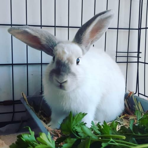 Pearl  - Domestic Rabbit