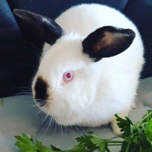 Ruby  - Domestic Rabbit