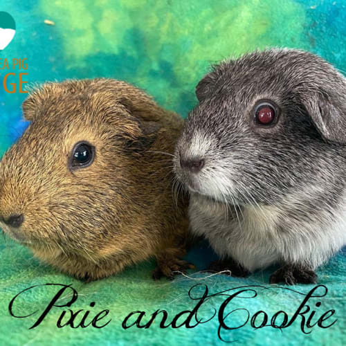 Pixie and Cookie - Smooth Hair Guinea Pig