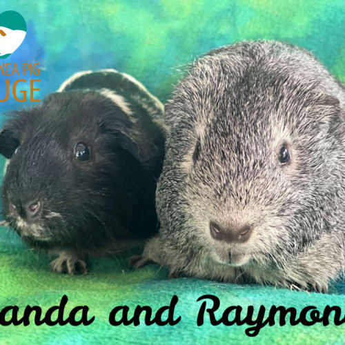Panda and Raymond (desexed male) - Smooth Hair Guinea Pig