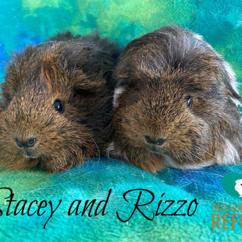 Stacey and Rizzo - Abyssinian Guinea Pig