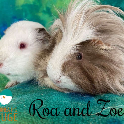 Roa (desexed male) and Zoe (indoor home only) - Peruvian x Smooth Hair Guinea Pig