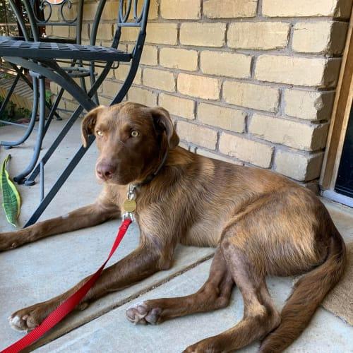 Donovan - Smithfield Cattle Dog x Labrador Dog