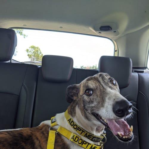 Bernie - Greyhound Dog