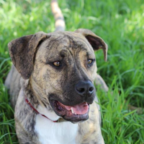 wilbur - Bullmastiff Dog