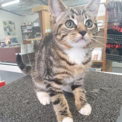Teddy - Domestic Short Hair Cat