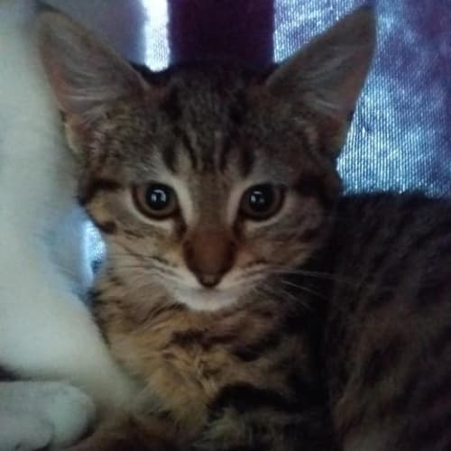 Zahlia - Domestic Short Hair Cat