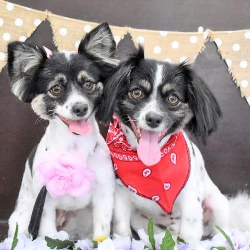 Millie & Monty - Papillon Dog