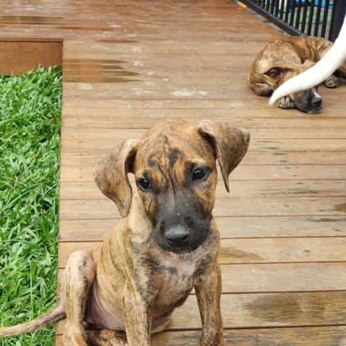 Jewell - Mixed Breed Dog