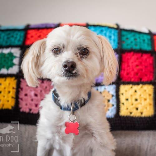 Zac Yarborough - Maltese Dog