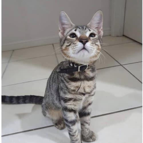 Numbat - Domestic Short Hair Cat