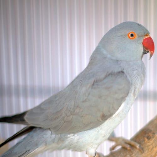 Carmen -  Bird