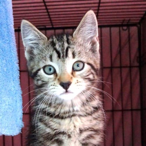 Murphy - Domestic Short Hair Cat