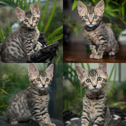 2117/2114 - Malawi & Kenya - Domestic Short Hair Cat