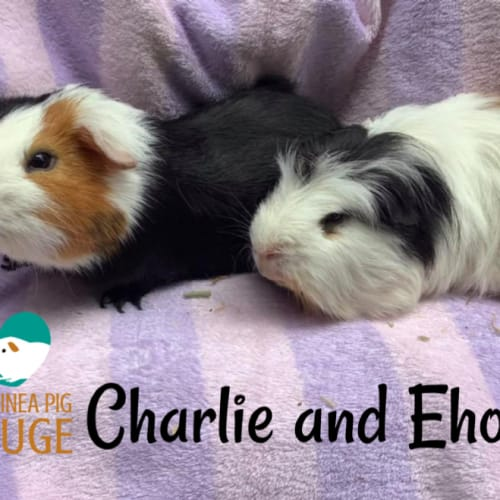 Charlie and Ehore - Guinea Pig