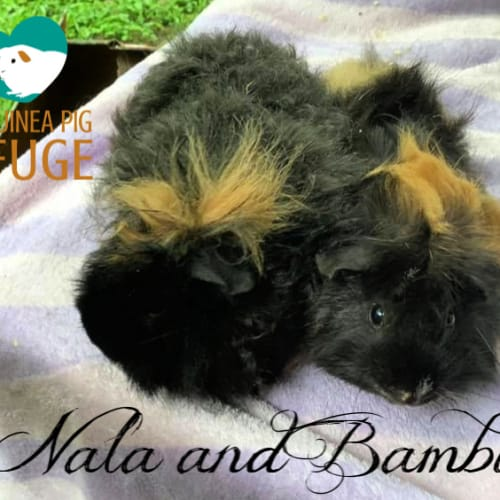 Nala and Bambi (indoor home and older kids only) - Abyssinian x Texel Guinea Pig