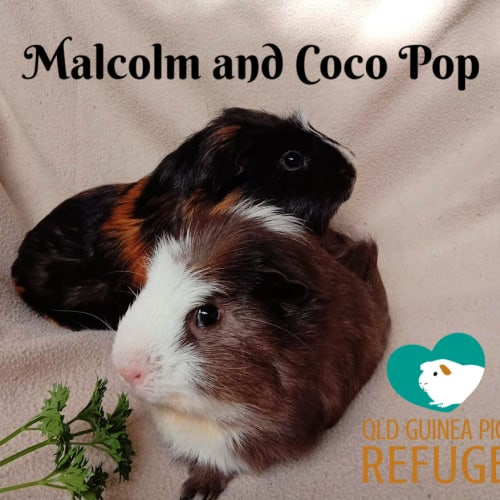 Malcolm and Coco Pop - Smooth Hair Guinea Pig