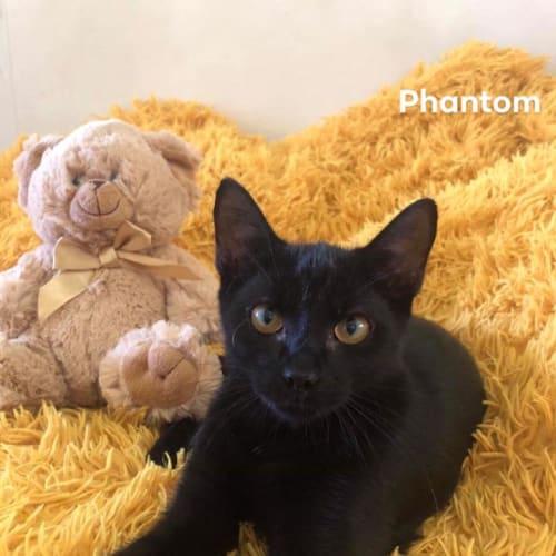 Phantom - Domestic Short Hair Cat