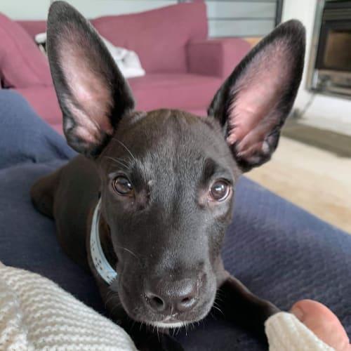Lucy - Kelpie Dog