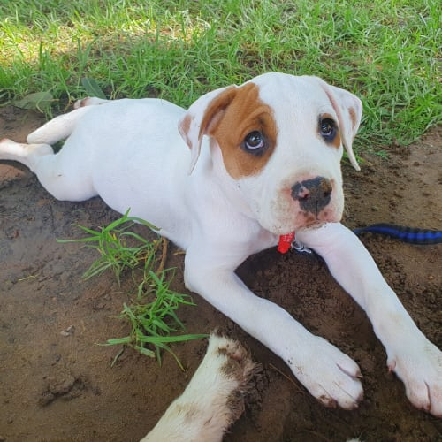 Kleo - American Bulldog x Bull Arab Dog
